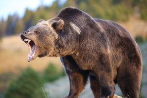 Медведь гриззли