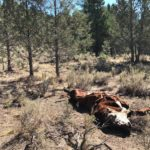 Mysterious Bulls Deaths East Oregon