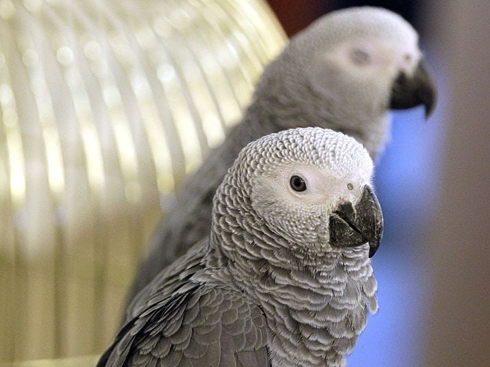 Foul Mouthed Gray African Parrots